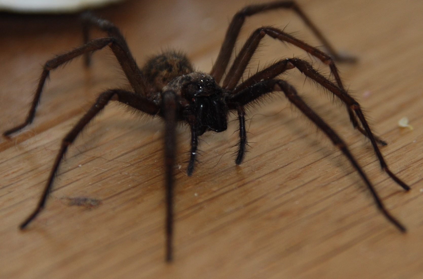 Spider Facts And Make You Own Spider Worksheet